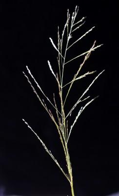 בן-חילף שעיר Eragrostis pilosa (L.) P.Beauv.