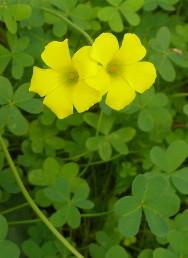 צמחים זקופים, קירחים. התפרחת רבת-פרחים, דמויית סוכך, נישאת על עוקץ ארוך מהעלים.
