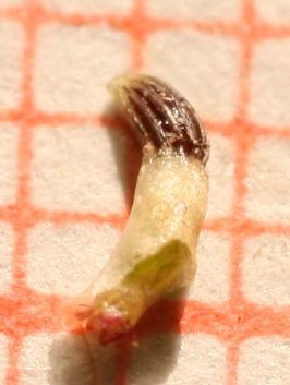 אזנן משולשן Chlamydophora tridentata (Delile) Less.