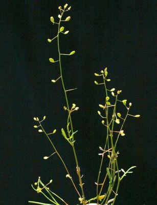 ילקוטון שרוע Hymenolobus procumbens (L.) Nutt.