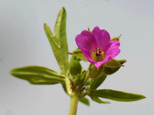 גרניון גזור Geranium dissectum L.