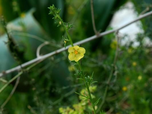 בוצין מזרחי Verbascum orientale (L.) All.