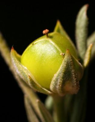 שמשון ריסני Helianthemum ledifolium (L.) Mill.