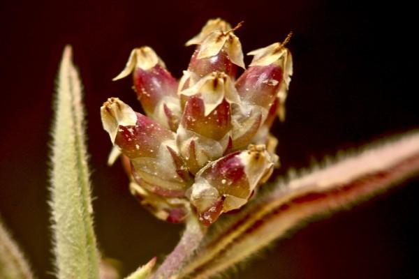 לחך לופת Plantago amplexicaulis Cav.