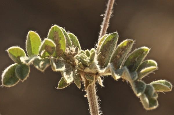 קדד הישימון Astragalus eremophilus Boiss.