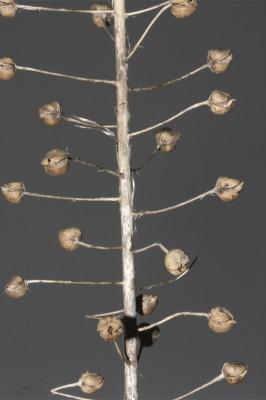 בוצין אפקי Verbascum levanticum I.K.Ferguson