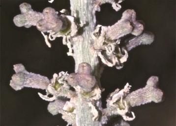 העלים, הגבעולים והפירות מכוסים בליטות, מעין גבשושים. זירי האבקנים נשארים מתחת לפרי הבשל.