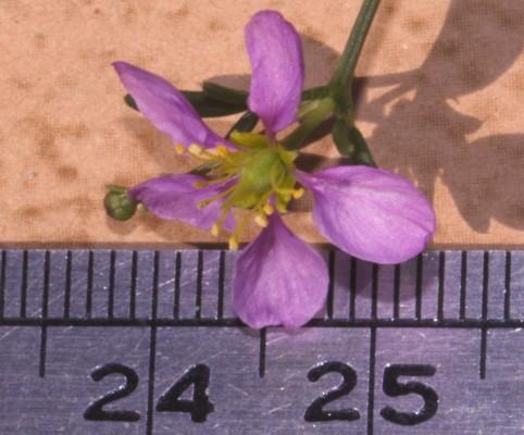 פגוניה צרת-עלים Fagonia tenuifolia Steud. & Hochst. ex  Boiss.