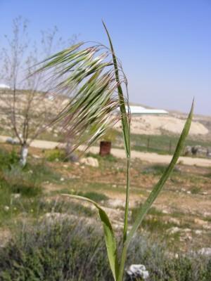 ברומית הגגות Bromus tectorum L.