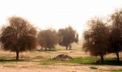 עצים של נאות מדבר בבקעת ים-המלח, גובהם עד 6 מ'.