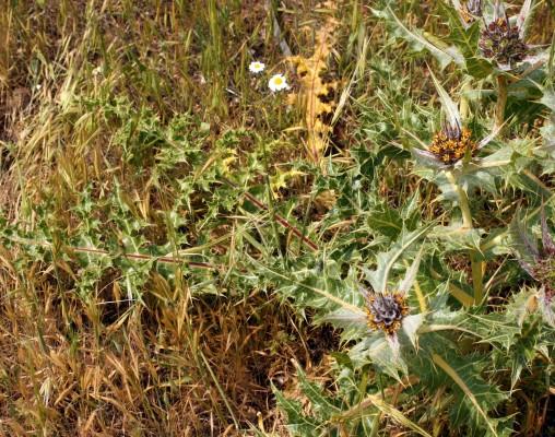 עכובית הגלגל Gundelia tournefortii L.