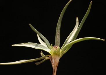 במבט מהצד על חתך רואים בחיק הפסיג השמאלי זירעון גדול לבן. במרכז שושנת העלים פרחים אדמדמים שהם חלק מהתפרחת העל-קרקעית.