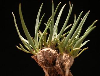 צמחי מדבר חד-שנתיים בעלי גבעול קצר ביותר. הפסיגים מפוצלים ל-4 או 2 אונות (לפחות 6 פסיגים בגוש המצולם). ניכרים שרידים חומים של צמחים מהשנה שעברה שצמחי השנה נבטו מתוכם.