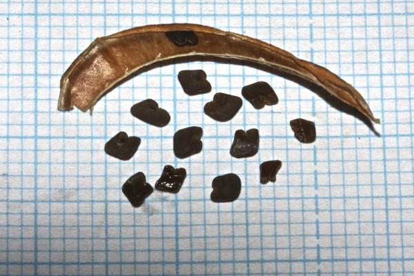 Astragalus intercedens Sam. ex Rech.f.
