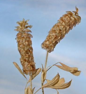 תלתן דגול Trifolium billardierei Spreng.