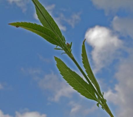 שלמון דק Cephalaria tenella Paine