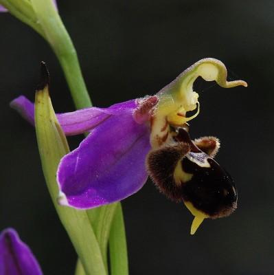 דבורנית הדבורה Ophrys apifera Huds.