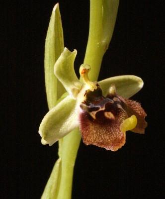 דבורנית נאה Ophrys bornmuelleri M.Schulze