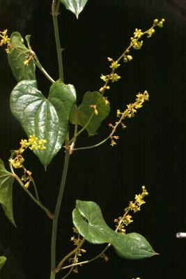 טמוס מצוי Tamus communis L.