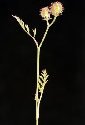 גזיר צר-עלים Torilis leptophylla (L.) Rchb.f.
