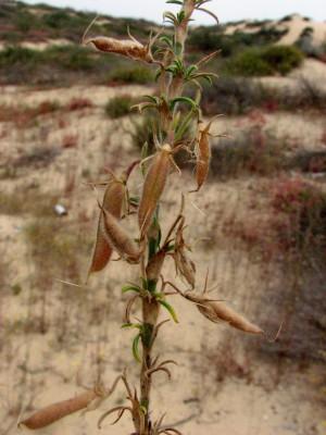 שברק מצוי Ononis natrix L.
