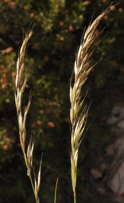 בולבסן ארץ-ישראלי Arrhenatherum palaestinum Boiss.