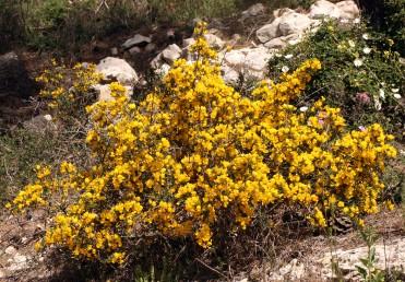 שיחים קוצניים סבוכים הפורחים בצהוב באמצע החורף. מרבית הריח נובע מהמפרש של הכותרת.