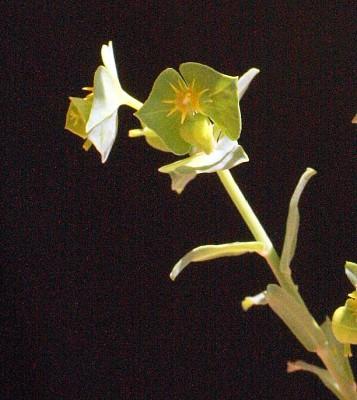 חלבלוב מקרין Euphorbia reuteriana Boiss.
