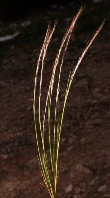 שעלב עדין Vulpia unilateralis (L.) Stace