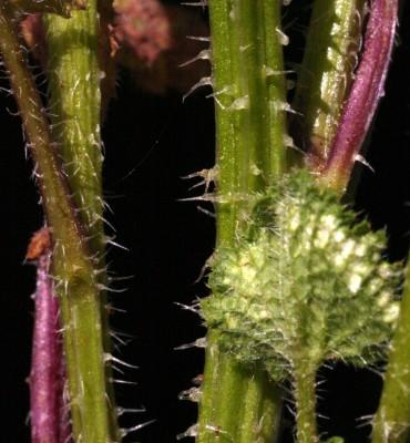 כרבה ספרדית Crambe hispanica L.
