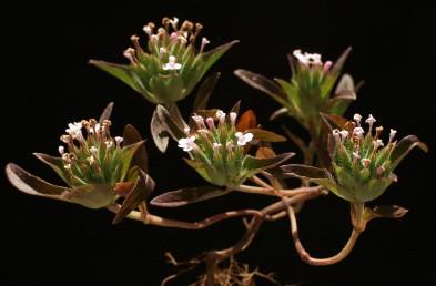 דורי הפרחים מקובצים לקרקפות בקצות הגבעולים. עלי התפרחת רחבים דמויי ביצה. צבע הכותרת ורוד.