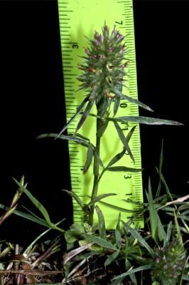 תלתן צר-עלים Trifolium angustifolium L.