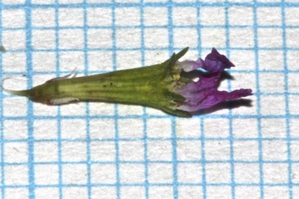 שנית קטנת-עלים Lythrum hyssopifolium L.