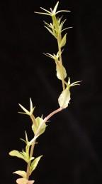 הפרחים יושבים 1(-2) בחיקי העלים לאורך הגבעולים; ההלקט דמוי פריסמה צרה.