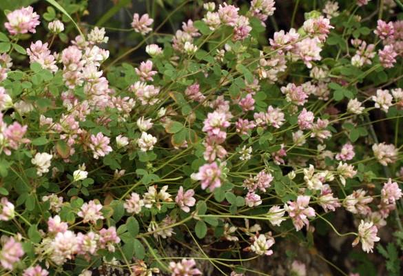 תלתן מאדים Trifolium erubescens Fenzl