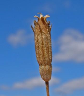 ציפורנית חופית Silene chaetodonta Boiss.