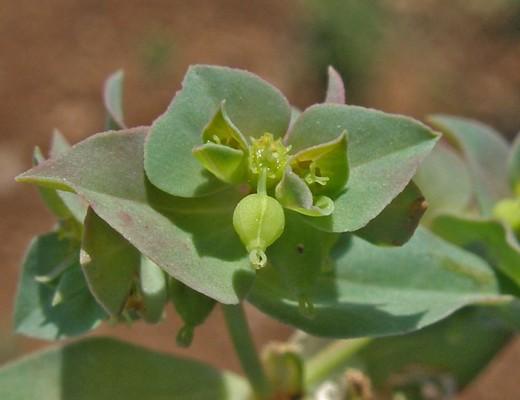Euphorbia falcata L.