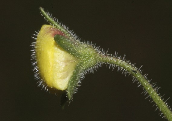 Verbascum berytheum Boiss.