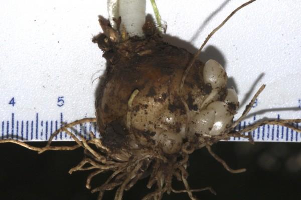 Ornithogalum umbellatum L.
