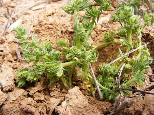 פרודתיים מכורבלות Mericarpaea ciliata (Banks & Sol.) Eig