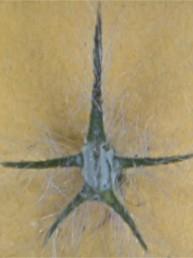 אחת משיני הגביע ארוכה, לוע הגביע סגור בהבשלה.