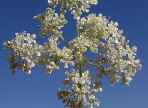 כמנונית קופטית Trachyspermum ammi (L.) Sprague