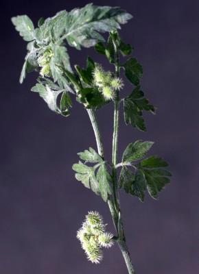 גזיר המפרקים Torilis nodosa (L.) Gaertn.