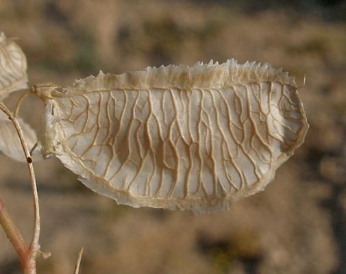 גרגרנית מדברית Trigonella schlumbergeri Boiss.