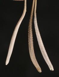 בכל קרקפת מצויים 3-2 טיפוסי זירעונים הנבדלים בצבעם ובמערך הגבשושים שלהם.