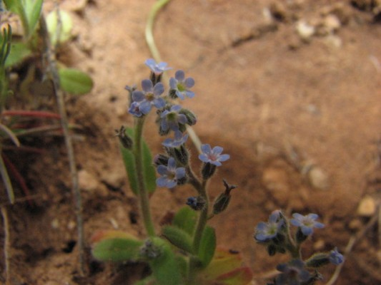 זכריני מסועף Myosotis ramosissima Rochel ex Schult.