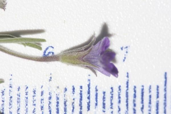 געדה זעירת-פרחים Teucrium parviflorum Schreb.