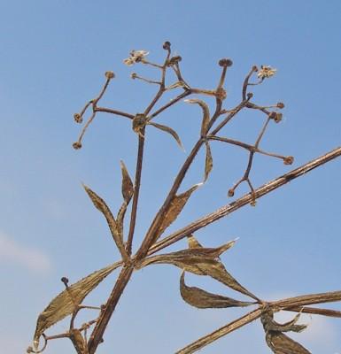 דבקת הנחלים Galium rivale (Sm.) Griseb.