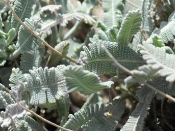 העלים לבידים, מלבינים, מחולקים-מנוצים לאונות משוננות צפופות ניצבות לעורק המרכזי של העלה. צמחי החרמון.