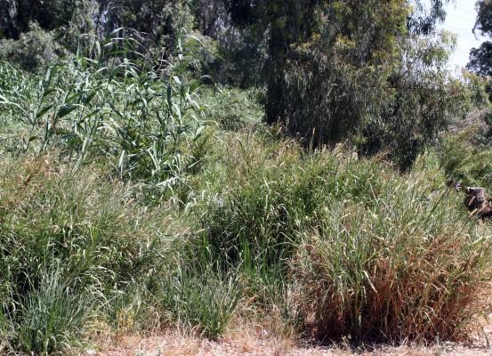 Pennisetum purpureum Schumach.